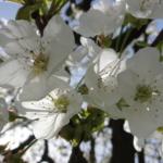 Kirschenblüte zu Beltane